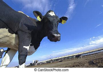 kühe, in, a, bauernhof, von, molkerei, pflanze, auf, a, sonniger tag, mit, blauer himmel
