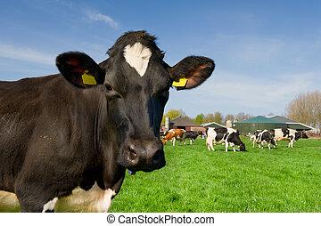 kühe, landschaftsbild, niederländisch