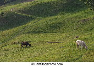 kühe, meadow., weiden