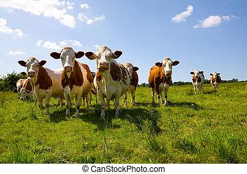 kühe, montbeliarde