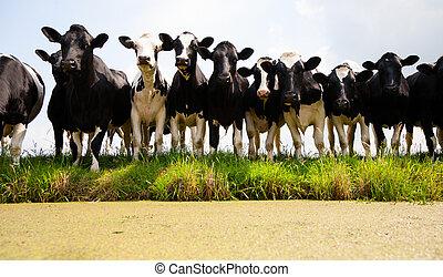kühe, niederländisch