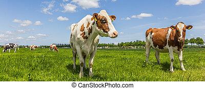 kühe, panorama, wiese