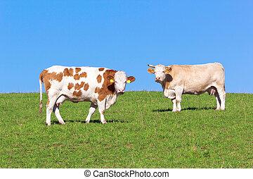 kühe, weide