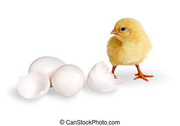 küken, eier