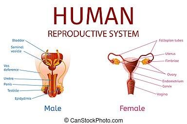 külső nemi szervek, címkével ellátott, hím, női, alkatrészek