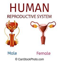 külső nemi szervek, emberi, reproductive rendszer, női, hím