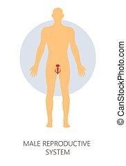 külső nemi szervek, reproductive rendszer, elszigetelt,...