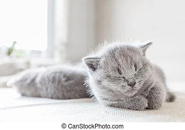 kładąc, szary, cat., brytyjski, shorthair.