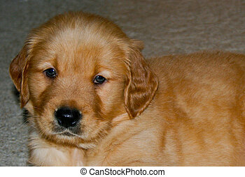 Golden retriever puppy, cute face close up
