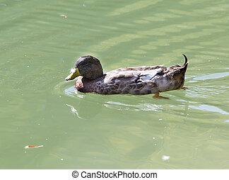 kacsa, úszkál, alatt, a, tó
