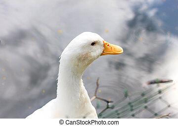 kacsa, fehér, alatt, egy, tavacska