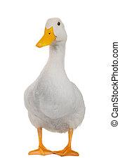kacsa, fehér