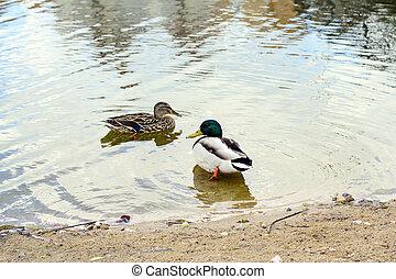 kacsa, képben látható, víz
