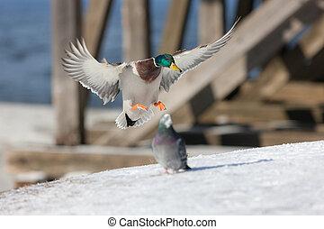 kacsa, leszállás, képben látható, a, hó