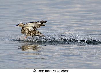 kacsa, leszállás, képben látható, a, víz