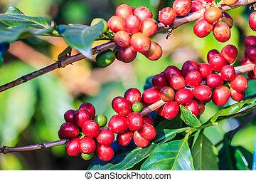 kaffe böna, arabica, på, träd, in, norr, av, thailand