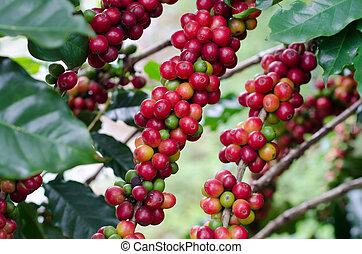 kaffe böna, på, träd