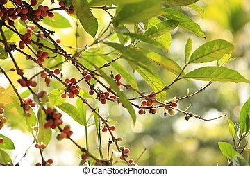 kaffe böna, växa, på, träd