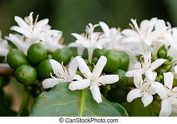 kaffe, blomst, blooming, på, træ