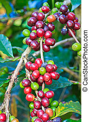 kaffe, träd