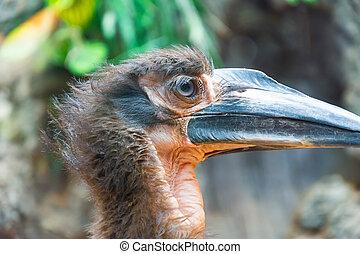 Kaffir horned raven head, eye close up view.