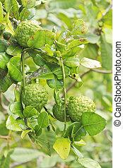 Kaffir Lime fruits on tree