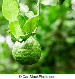 Kaffir Lime on tree