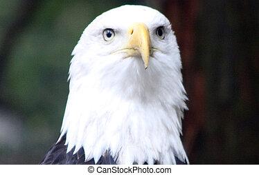 kahl, eagle., foto, genommen, an, nordwesten, treck,...