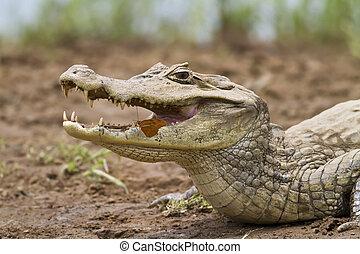 kaiman, (caiman, crocodilus, fuscus), mit, papillon,...