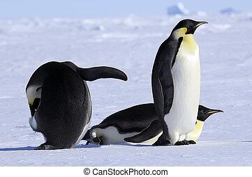 kaiser, gruppe, pinguin