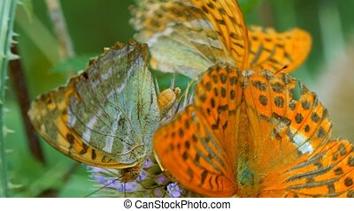 Kaisermantel Butterfly - Argynnis Paphia - Closeup - Graded...