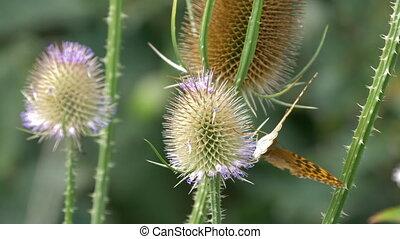 Kaisermantel Butterfly - Argynnis Paphia - Closeup - Native...