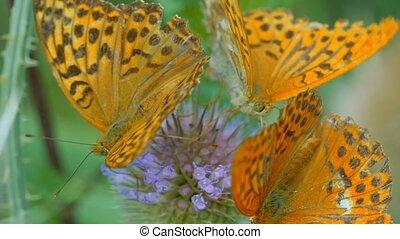 Kaisermantel Butterfly - Argynnis Paphia - Closeup, Slowmo -...