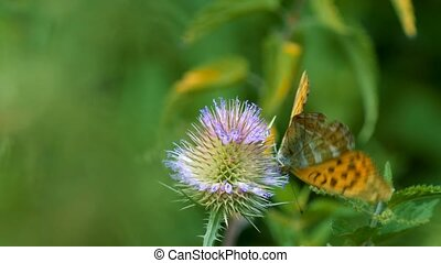 Kaisermantel Butterly - Argynnis Paphia - Closeup - Graded...