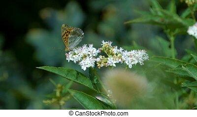 kaisermantel, butterly, -, argynnis, paphia, -, closeup, slowmo