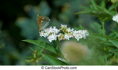 Kaisermantel Butterly - Argynnis Paphia - Closeup, Slowmo -...