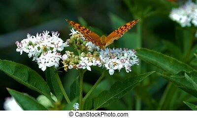 kaisermantel, butterly, -, argynnis, paphia, -, closeup