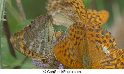 kaisermantel, papillon, -, argynnis, paphia, -, closeup