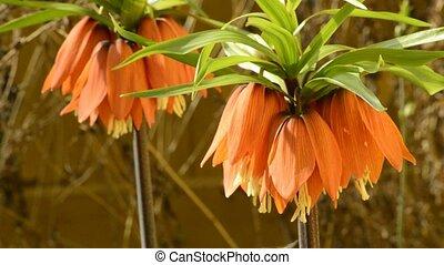 Kaisers crown flower in spring