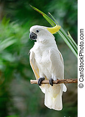 kakadu, schwefel-crested