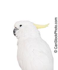 kakadu, weißes, schwefel-crested