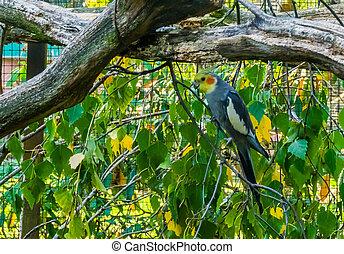 kakadue, mandlig, siddende, yndling, træ, australien, aviculture, populære, lille, branch, cockatiel