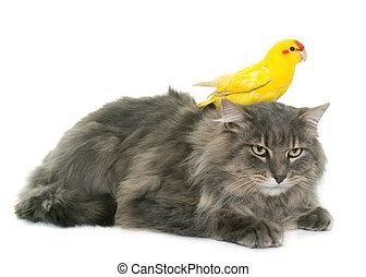 kakariki and maine coon cat
