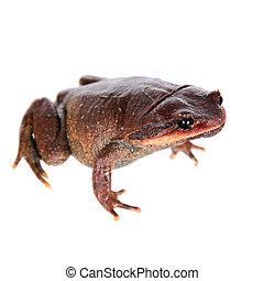 Kakhien Hills spadefoot toad on white - Kakhien Hills...