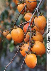 kaki: many Sharon Fruit on the branch