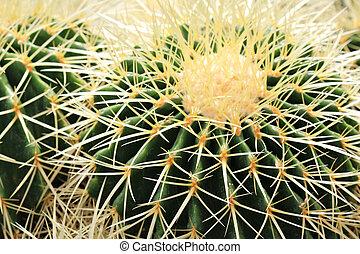 kaktus, closeup, spitzen