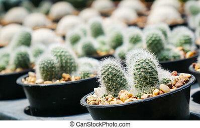 kaktus, in, der, topf, verkauf