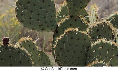 kaktus, in, seite, federn, wüste, arizona, usa