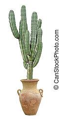 kaktus, isoleret, på hvide, baggrund