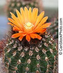 kaktus, knospe